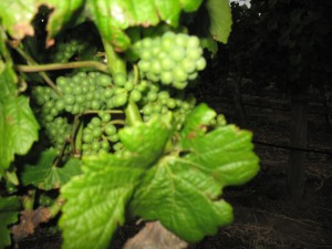 Green grow the grapes but they will ripen in time